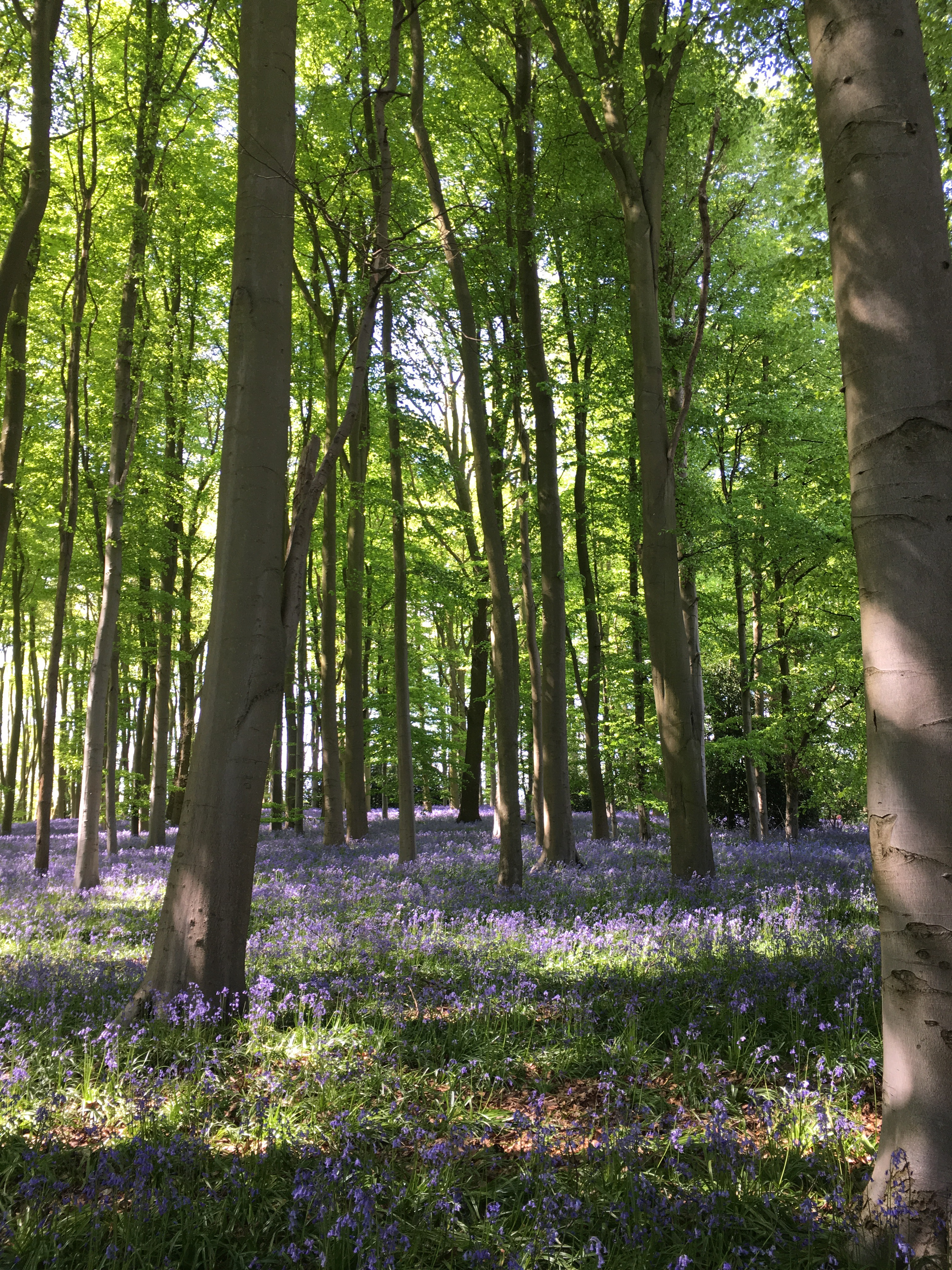 Coton Manors Five Acre Bluebell Wood Open Until 15th May 12 Noon To 530
