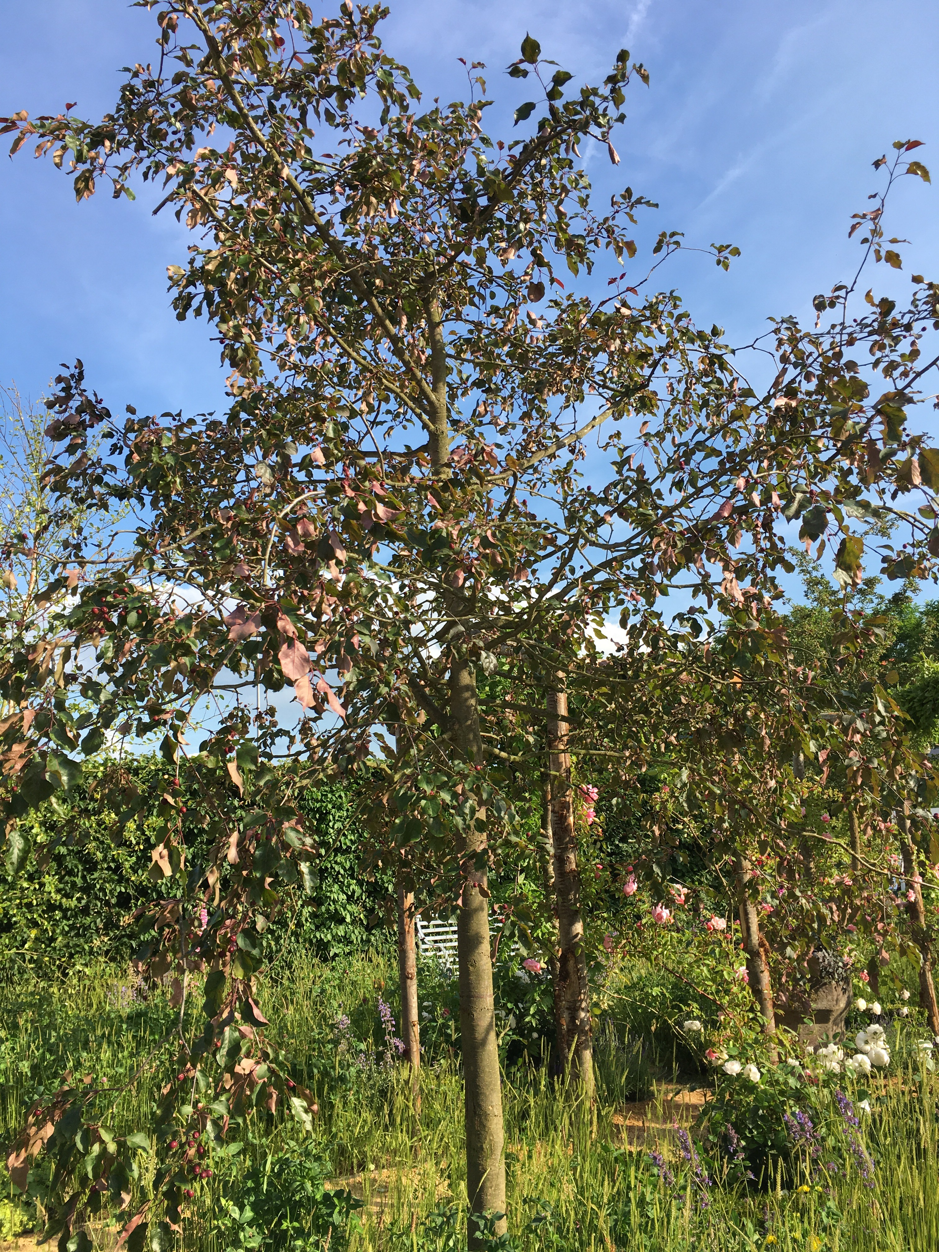 roses   Bramble Garden