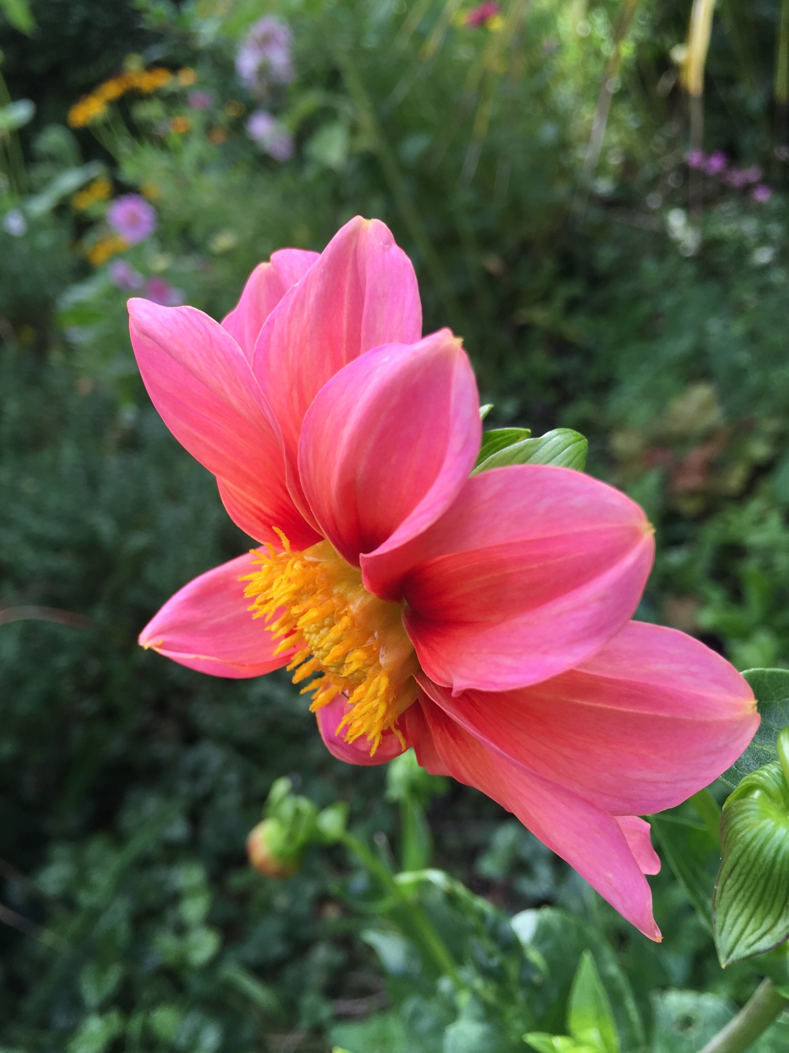 Dahlias Grown From Seed Last Year Have Overwintered In The Ground. These  Are Supposed To Be Annuals, But The Mild Winters Mean We Get Two Years Out  Of The ...